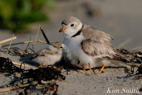 Piping Plover female, chick 10 days old Gloucester MA copyright Kim Smith - 21 copy