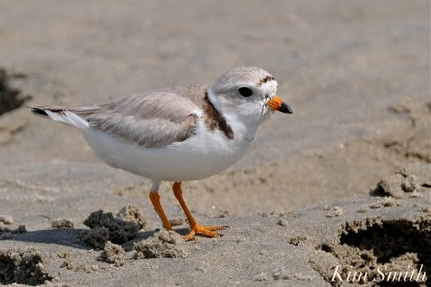 Piping Plover Female GHB Gloucester MA copyright Kim Smith - 21 copy