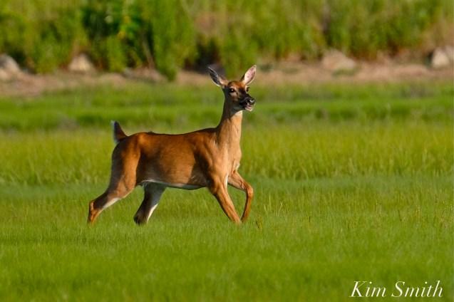 Deer Doe Good Harbor Beach copyright Kim Smith - 26