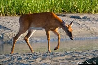 Deer Doe Good Harbor Beach copyright Kim Smith - 29