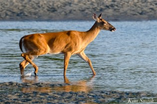 Deer Doe Good Harbor Beach copyright Kim Smith - 30