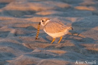 Piping Plover Chick foraging 32 days old copyright Kim Smith - 24 copy