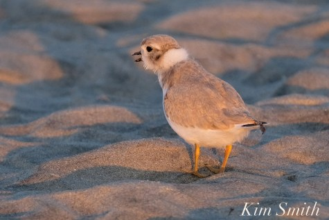 Piping Plover Chick foraging 32 days old copyright Kim Smith- 27 copy