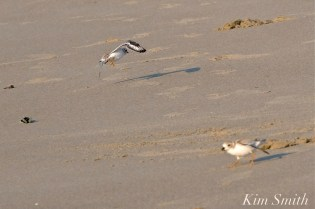 Piping Plover Fledglings 35 days old copyright Kim Smith - 14