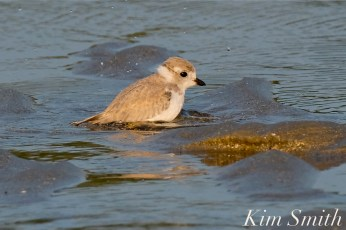Piping Plover Fledglings 36 days old copyright Kim Smith - 21