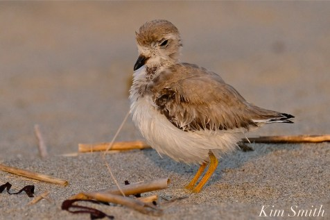 Semipalmated Plover Chick Fledgling Good Harbor Beach Massachusetts copyright Kim Smith - 12