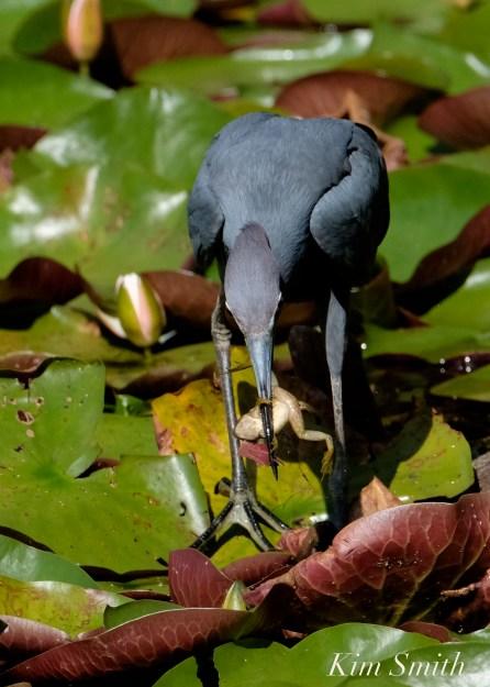 Little Blue Heron Eating Froglet Gloucester Massachusetts copyright Kim Smith - 07