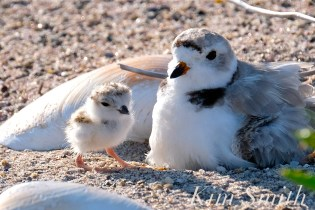 Piping Plover Chick Hatching copyright Kim Smith - 03