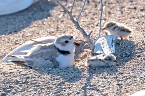 Piping Plover Chick Hatching copyright Kim Smith - 12