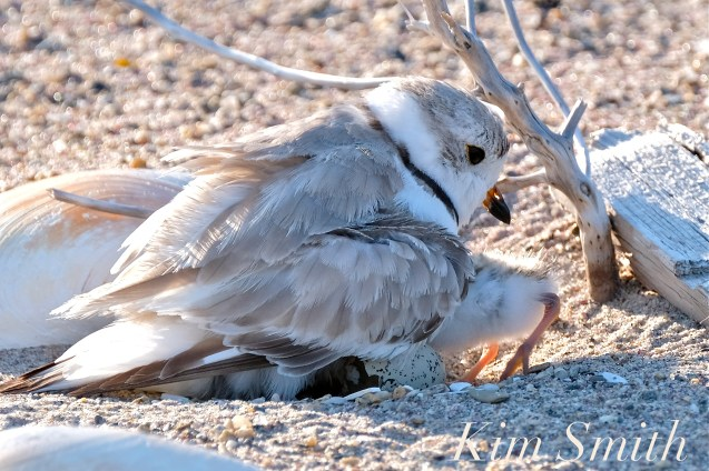 Piping Plover Chick Hatching copyright Kim Smith - 13