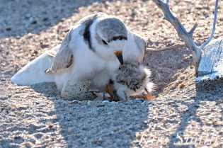 Piping Plover Chick Hatching copyright Kim Smith - 14