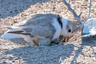 Piping Plover Chick Hatching copyright Kim Smith - 16