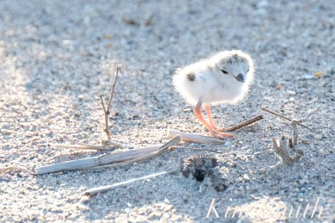 Piping Plover Chick Hatching copyright Kim Smith - 22