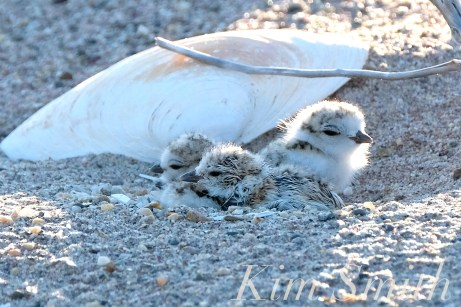 Piping Plover Chick Hatching copyright Kim Smith - 28