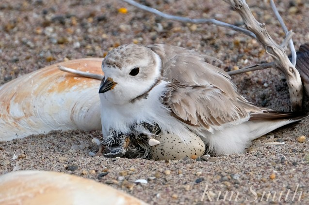 Piping Plover Chicks Hatching copyright Kim Smith - 05