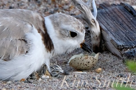 Piping Plover Chicks Hatching copyright Kim Smith - 13