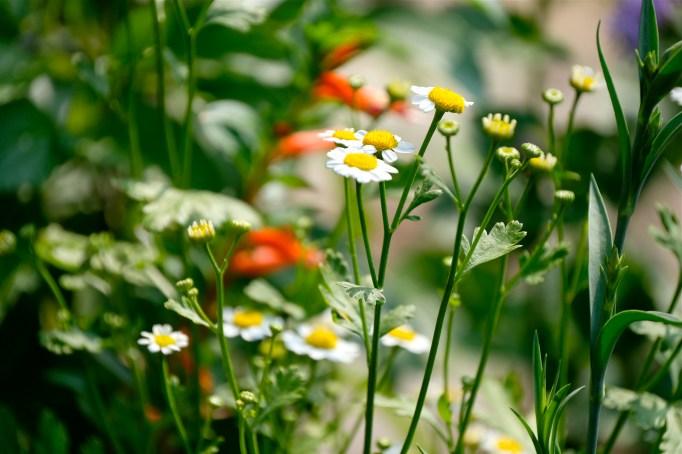 Urban Pollinator Garden Mary Prentiss Inn Cambridge copyright Kim Smith - 24