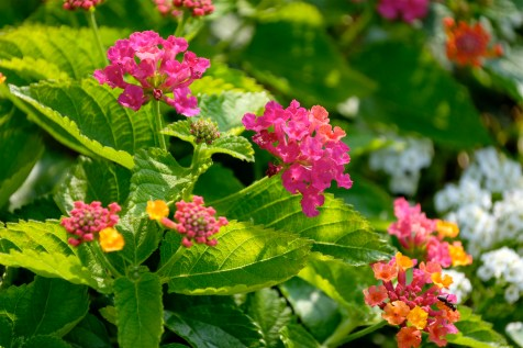 Urban Pollinator Garden Mary Prentiss Inn Cambridge copyright Kim Smith - 25