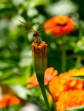 Urban Pollinator Garden Mary Prentiss Inn Cambridge copyright Kim Smith - 32