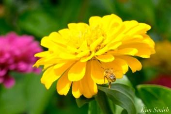 Urban Pollinator Garden Mary Prentiss Inn Cambridge copyright Kim Smith - 60
