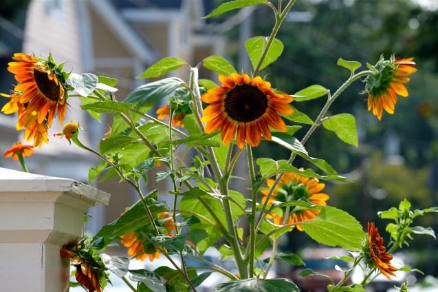 Urban Pollinator Garden Mary Prentiss Inn Cambridge copyright Kim Smith - 68