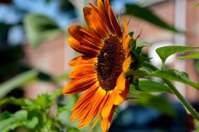 Urban Pollinator Garden Mary Prentiss Inn Cambridge copyright Kim Smith - 70