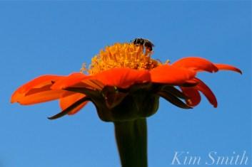 Urban Pollinator Garden Mary Prentiss Inn Cambridge copyright Kim Smith - 72