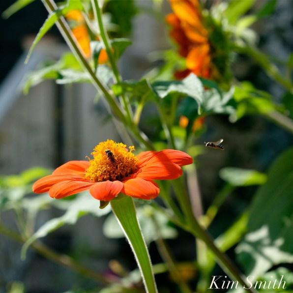 Urban Pollinator Garden Mary Prentiss Inn Cambridge copyright Kim Smith - 73