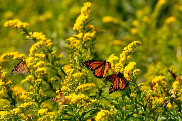 Monarch Butterflies Painted Ladies Seaside Goldenrod copyright Kim Smith - 10