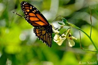 Monarch Butterfly Black Mustard copyright Kim Smith .jpg