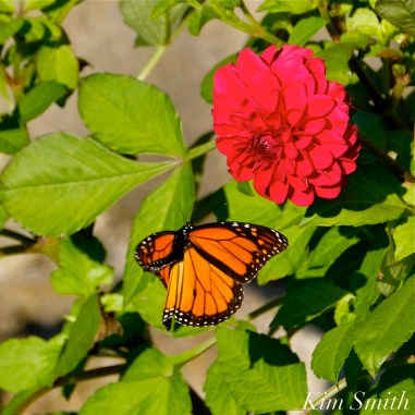 Monarch Butterfly Red Dahlia -2 copyright Kim Smith