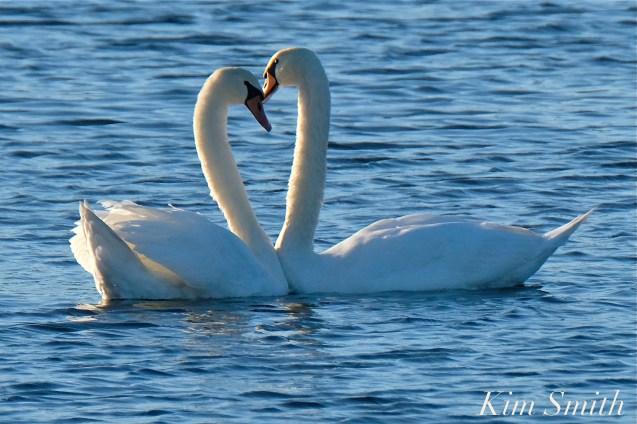 Mute Swans Cygnus olor Pair Gloucester MA copyright Kim Smith - 13