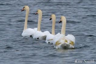 Mute Swans Cygnus olor Gloucester MA copyright Kim Smith - 11