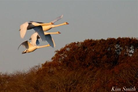 Mute Swans Cygnus olor Gloucester MA copyright Kim Smith - 33