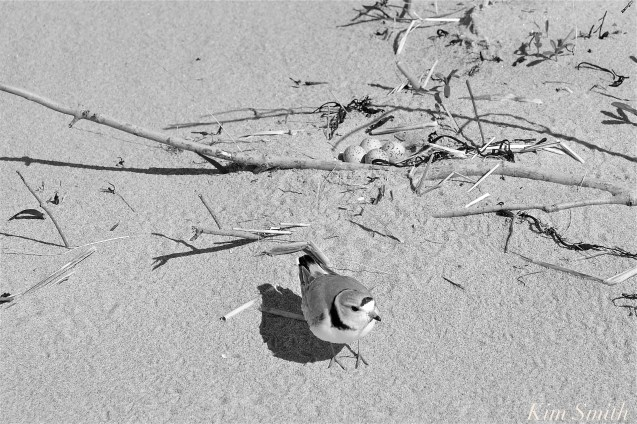 Piping Plover nest eggs GHB Gloucester -2 copyright Kim Smith