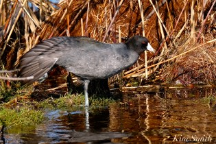 American Coot Gloucester Massachusetts copyright Kim Smith - 05