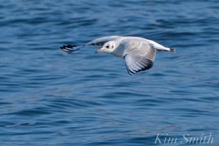 Bonapartae's Gull Brace Cove copyright Kim Smith - 08