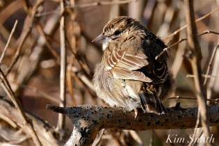 Lark Sparrow Massachusetts Gloucester copyright Kim Smith - 03