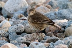 American Pipit 6-Gloucester Massachusetts copyright Kim Smith