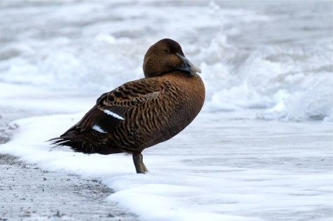 Common Eider Female Winter Wildlife Gloucester Massachusetts copyright Kim Smith - 26