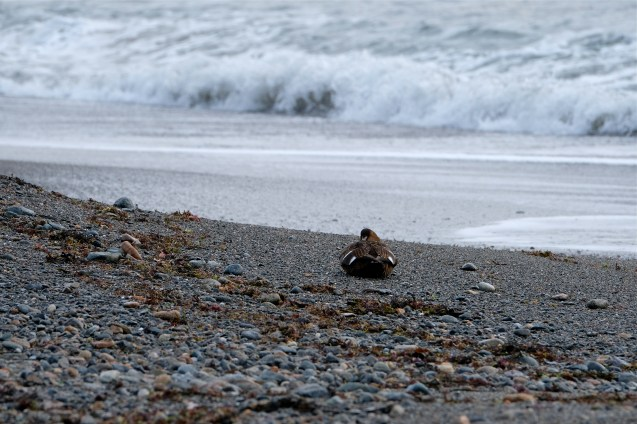 Common Eider Winter Wildlife Gloucester Massachusetts copyright Kim Smith - 22