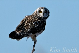Short-eared Owl Parker River Plum Island copyright Kim Smith - 12