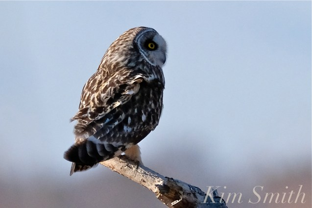 Short-eared Owl Parker River Plum Island copyright Kim Smith - 16