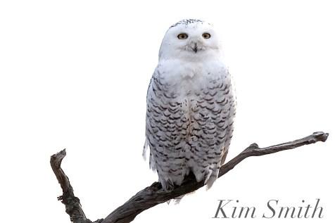 Snowy Owl Bubo scandiacus Massachusetts copyright Kim Smith - 11