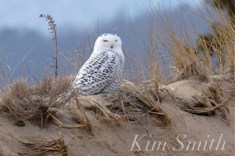 Snowy Owl Parker River Massachusetts copyright Kim Smith - 05