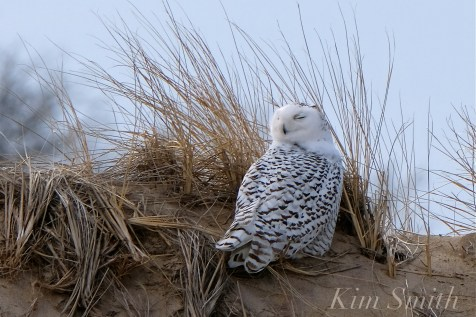 Snowy Owl Parker River Massachusetts copyright Kim Smith - 14