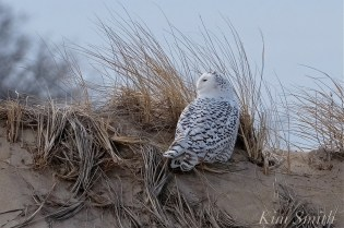 Snowy Owl Parker River Massachusetts copyright Kim Smith - 17