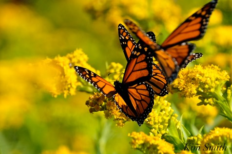 Monarch Butterflies Seaside Goldenrod Postcard image copyright Kim Smith