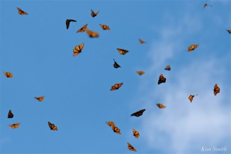 Monarchs in flight Cerro Pelon copyright Kim Smith - 15