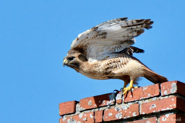 Red-tailed Hawk in Flight copyright Kim Smith - 3 of 9